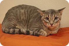 Baton Rouge, LA - Domestic Mediumhair. Meet Josie, a cat for adoption. http://www.adoptapet.com/pet/15125578-baton-rouge-louisiana-cat