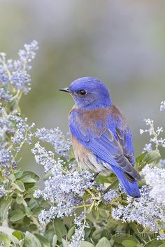 Western Bluebird in California Lilac ~ by Bill Leaman