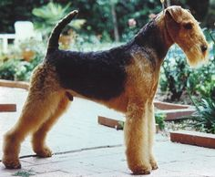 The profile of a strong, lean Airedale Terrier.