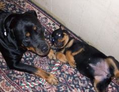 Kens Kennel-rottweiler puppies for sale in missouri