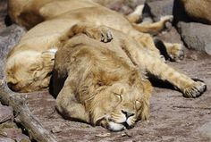 Lions like their sleep too!