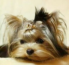 Little princess ❤️ Puppies And Kitties, Yorkie Puppy, Cute Puppies, Pet Dogs, Dog Cat, Doggies, Animals And Pets, Cute Animals, Yorshire Terrier