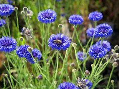 Cornflower, also called Bachelor's Button, blooms in late spring and continues until November or longer if weather is mild. This self-seeding annual is a good source of nectar, and attracts bees and other pollinators with its intense blue flowers.