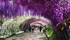 Il tunnel dei giardini di Kawachi Fuji, si trova a 4 ore da Tokyo, al suo interno si trovano molte specie di glicine, una pianta apprezzata dai Giapponesi.