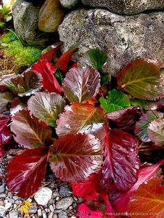Bergenia-Bressingham Ruby ⓒ Michaela at TGE