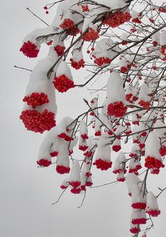 "Heavy Snow Bends Berried Branches by Pictoscribe on Flickr. ""A fine collection of dunce hats on these clusters of mountain ash berries, that sustain birds through the winter...are even edible in an emergency if cooked."""