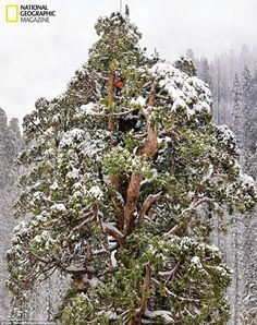 Majestic: Cloaked in the snows of California's Sierra Nevada, the 3,200-year-old giant sequoia called the President rises 247 feet