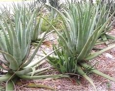 We've put together The Ultimate Guide to The Aloe Vera Plant and Aloe Vera Plant Care for health.