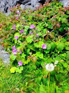Flores de los biomas de tundra polar.