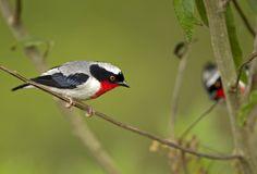 Foto saíra-apunhalada (Nemosia rourei) por Ciro Albano | Wiki Aves - A Enciclopédia das Aves do Brasil