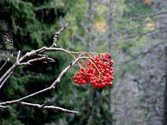 Sorbus aucuparia. Red berries in  High Tatras. Slovakia. Vysoké Tatry. Hrebienok- Reinerova chata.