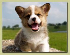 I love my corgis...this little guy is too cute.