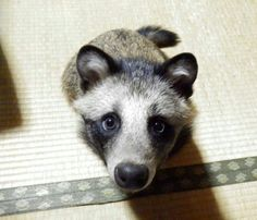 The racoon dog is a real thing. And it's adorable.