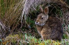 https://flic.kr/p/zPSWxk   Paramo Tapeti   Tapeti (Sylvilagus brasiliensis) - Cajas National Park, Ecuador  Another shot of one of the residents of the high grasslands of the Andes Mountains. The Tapeti, also known as the Brazilian cottontail or forest cottontail seemed rather common among the tall grasses of the paramo.  Despite being common most were quite shy and difficult to approach, disappearing into the tall grass at the slightest sign of danger.  They had good reason to do so, I…