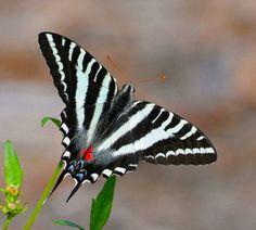 I ❤ butterflies . . . Zebra swallowtail butterfly- The swallowtail family of butterflies borrows the zebra pattern, alongside many other color schemes.