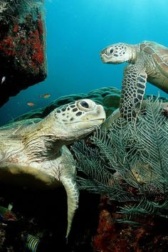Sea turtles or marine turtles are turtles that inhabit all of the world's oceans except the Arctic. Most species of sea turtle are endangered. Turtle Love, Green Turtle, Sea Turtle Wallpaper, Animals Beautiful, Cute Animals, Animals Amazing, Beautiful Ocean, Beautiful Creatures, Underwater Wallpaper