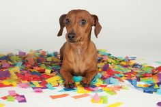 Confetti makes life more fun... try it! (via What's Up Dox Dachshund Shoppe)