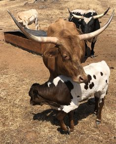 Miniature texas longhorn family. Mini Cows, Texas Longhorns, Cattle, Miniatures, Animals, Gado Gado, Animales, Animaux, Animal