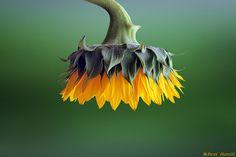 "500px / Photo ""☼ Sunflower ☼"" by Bess Hamitiᴾᴴᴼᵀᴼᴳᴿᴬᴾᴴᴱᴿ°"