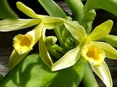 Baunilha - Vanilla planifolia