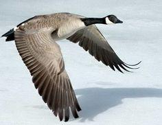 Goose in Native American Animal Zodiac