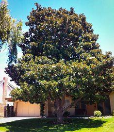35 Best Magnolia Trees Images In 2019 Magnolia Trees Tulip Tulips