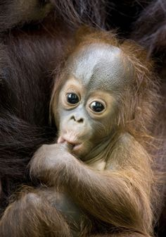 Orangutan babies suck their thumb for comfort much like human babies