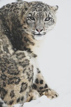 snow leopard best animal ever :)))