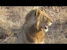 2 Young Male Lions disappeared quickly when they heard something coming ... Lion Walking, Walking By, Male Lion, Body Anatomy, Lions, Cats, Animals, Lion, Gatos