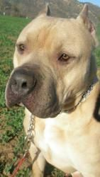 Apollo is an adoptable Presa Canario Dog in Lakeside, CA. Apollo is a beautiful, calm boy who is ready for his forever person. He has a playful and goofy side with a great confident disposition. He is...