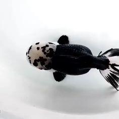 20 Types of Goldfish for Aquarium (Oranda, Shubunkin, Bubble Eye, Etc) Diskus Aquarium, Goldfish Aquarium, Goldfish Tank, Black Goldfish, Cute Funny Animals, Cute Baby Animals, Animals And Pets, Black Animals, Beautiful Fish