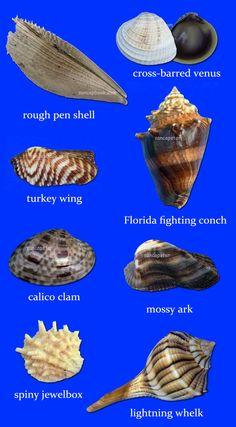 """Marlin Spike Terebra Maculata Seashells~Spiral,Swirl,Sliced Shells~5/""""-6/"""" 1"""