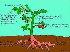 beskjære tomatplanter - Google-søk