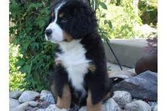 bernese mountain dog full grown - Google Search