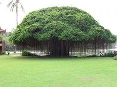 10-Benefits-of-Banyan-tree