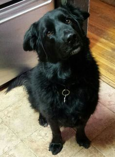 My awesome dog Max.. Black Lab mix with Golden Retriever