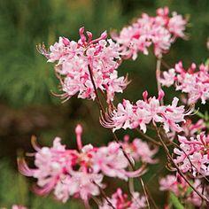 Piedmont Azalea (Rhododendron canescens) | Wake Up to Wildflowers - Southern Living