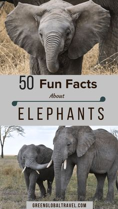 Happy World Elephant Day! Check out these 55 Interesting Facts About Elephants, w/ fun facts about types of elephants, elephant habitat, elephant behavior, conservation & more! Elephant Facts For Kids, Fun Facts About Elephants, Types Of Elephants, Elephants For Kids, Animal Facts For Kids, African Forest Elephant, World Elephant Day, Elephant Family, Asian Elephant