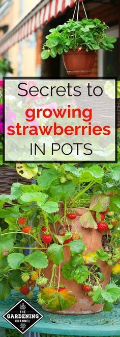 to grow strawberries in containers. Learn the best way to grow strawberry pl How to grow strawberries in containers. Learn the best way to grow strawberry plHow to grow strawberries in containers. Learn the best way to grow strawberry pl Container Vegetables, Container Gardening, Gardening Tips, Vegetable Gardening, Organic Gardening, Gardening Courses, Gardening Gloves, Hydroponic Gardening, Potted Tomato Plants