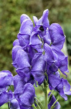 Aconitum carmichaelii 'Arendsii' is a deep blue monkshood flowering late summer to autumn.  It is happiest in part shade , is hated by slugs but beloved by bees.  All parts of the plant are poisonous.