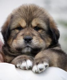 Pretty sure this is a Leonberger puppy and I must say this is added to my top three giant dogbreeds wanted