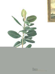 toxic houseplants - rubber tree
