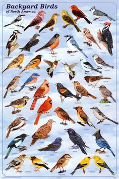 Laminated Backyard Birds Educational Science Chart Poster Laminated Poster 24 x Pretty Birds, Love Birds, Beautiful Birds, Birds 2, Animals Beautiful, Beautiful Pictures, Bird Identification, Bird Poster, Poster Poster