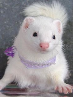 Schnooky, by Nicole Doyle! Funny Animal Memes, Funny Animals, White Ferret, Cute Ferrets, Four Legged, My Animal, Cute Baby Animals, Guinea Pigs, Mammals
