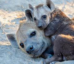 Hyena Cub snuggling up with Mama : hyenas – Monkey Stuffed Animal Animals And Pets, Baby Animals, Cute Animals, Mundo Animal, My Animal, Amazing Beasts, African Wild Dog, African Safari, Dangerous Animals