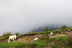 Lonely sheep in the Scottish Highlands