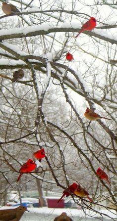 Bird Houses For Cardinals Yards 45 Best Ideas - Bird Houses For Cardinals Yards. Bird Houses For C Pretty Birds, Love Birds, Beautiful Birds, Animals Beautiful, Cute Animals, Beautiful Wall, Cardinals, Hirsch Illustration, Image Nature