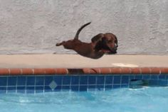 baby lil diving dachshund c: