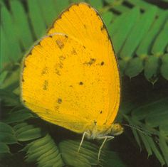 The Little Sulphur has a low, darting flight and an affinity for dry, open habitats. Although found throughout the year in Florida, it is particularly abundant in the late summer and early fall. Like other members of the genus, it produces different seasonal forms that vary in coloration, behavior and reproductive activity.