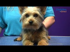 Guide for grooming Josie  ▶ Grooming Guide - Yorkshire Terrier Puppy Trim - Pro Groomer - YouTube
